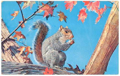 Squirrel - Gray Squirrel eating Acorn